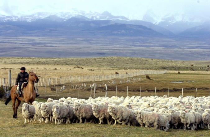 rosy-green-wool-merino-sheep